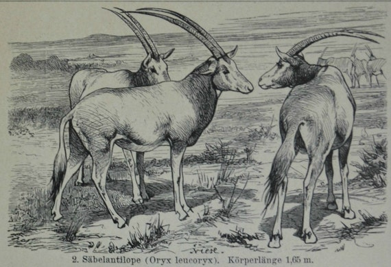 Antelope illustration. Zoology print. Natural history engraving. Old book plate,1901.  113 years lithograph. 6'2 x 9'8  inches.