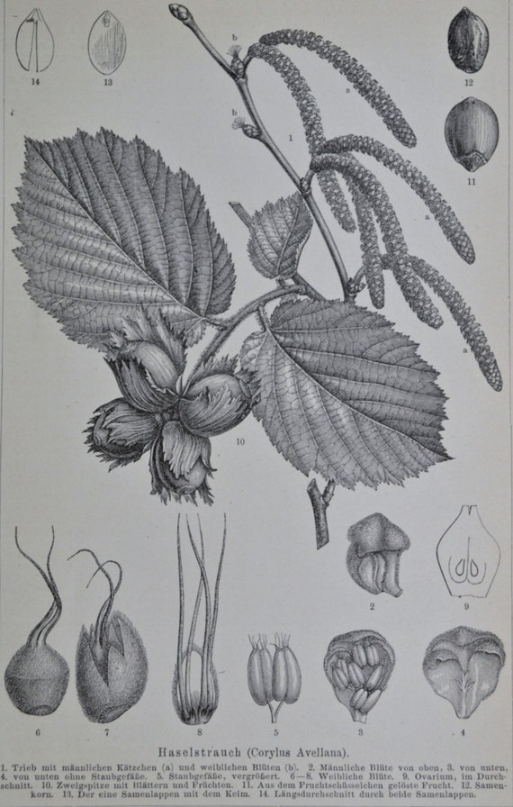 Common hazel(Corylus avellana).Natural history. Botany print.Old book plate,1890.Antique illustration.124 years lithograph.9'6 x 6'2 inches.
