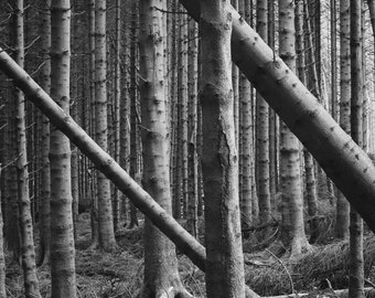 Lines of trees in Kielder Forest, Northumberland
