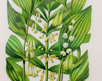 Anne Pratt Antique Botanical Print - Lily of the Valley, Solomon's Seal (222)