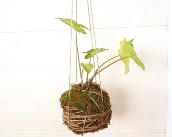 Kokedama Moss Ball Syngonium Plant