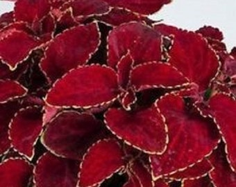 Coleus Wizard Red Velvet Flower Seeds / Annual   50+