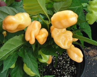 Peach Habanero Pepper Seeds (25+ per pack)