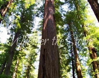 Canopy - California Redwoods Fine art print Home decor