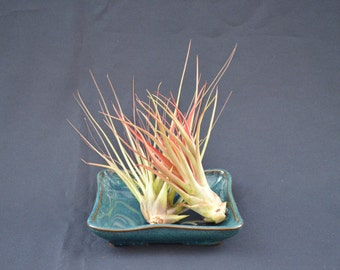 Tropical Air Plants, No Soil Just Water,Multiple color, Easy Care!