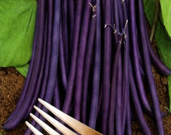 Bean Royal Burgundy Vegetable Seeds (Phaseolus vulgaris) 30+Seeds