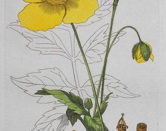 1835: Welsh Poppy, Meconopsis Cambrica. Beautiful Original Botanical Antique Engraving. Handcolored. Flower Floral Botany Vintage Baxter