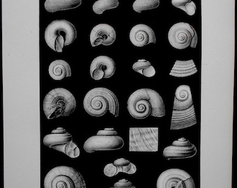 1905 Fossil Shells. Lithograph and Drawing by Barkentin. Shells: Poleumita, Hormotoma, Eotomaria, Coelidium, etc. Original Antique Print