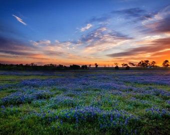 Texas Bluebonnets at Sunrise near Whitehall