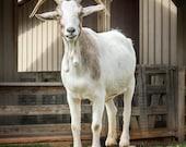 Animal Photography, Smiling Goat Photo, Goat Art Print, Happy Animal, Farm Animal, 8x8 - 12x12 - Buster