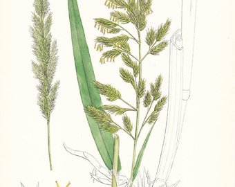 1902 British Botany Print - Ribbon Grass - Vintage Antique Sowerby Art Illustration Book Plate Landscaping Farming 100 Years Old