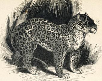 1840s-1850s Antique Engraving of the Jaguar