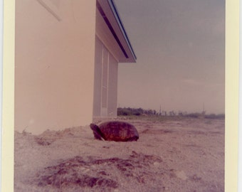 1960s TORTOISE in Empty Lot Next to House - snapshot 470-A