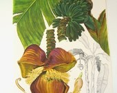 Banana tree  vintage  print for wall decoration.  Wildflower bookplate from the 1970s.