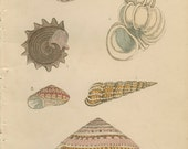 1856, Royal Staircase Wentletrap, Carrier Trochus, Imperial Trochus, Shell Book Plate 4, Hand Coloured, Antique Frameable Art, Adams