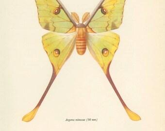 Vintage Moth Print, Lesser Tailed Comet Moth (27) Prochazka, 1966, Butterfly, Lepidoptera, Natural History, Frameable Art