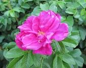 Heirloom Rosa Rugosa Seeds (Rosa rugosa)