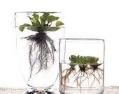 AN INDOOR GARDEN . . . Water Lettuce Plants / Aquarium / Aquascapes / Ponds