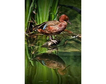 Cinnamon Teal Duck with Reflection at the edge of a Pond No.0003 - A Fine Art Waterfowl Migratory Bird Photograph