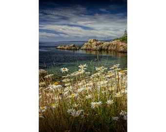 Shoreline Yellow Daisies in Acadia National Park on Mount Desert Island in Maine No.083 A Fine Art Seascape Flower Vertical Photograph