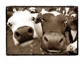 Cows, black and white, Farm, Farmland, funny, silly, happy, Dairy, Sepia, Fine Art Photography Print 8X10