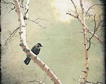 Crow, Bird Photography, Birch Trees, Birds, Square Fine Art Print, Outdoors, Sky, Clouds, Nature Wall Art, Home Decor