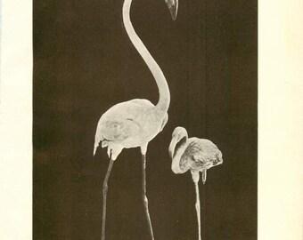 "Digital Download ""Flamingo"" Illustration (c.1900s) - Instant Download Printable of Flamingo, Antique Illustrated Bird Book Page"