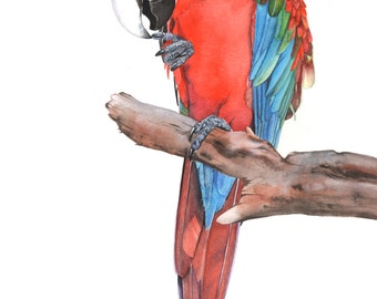Green Winged Macaw print of watercolor painting SM0615 - 5 by 7 print wall art print - bird art print