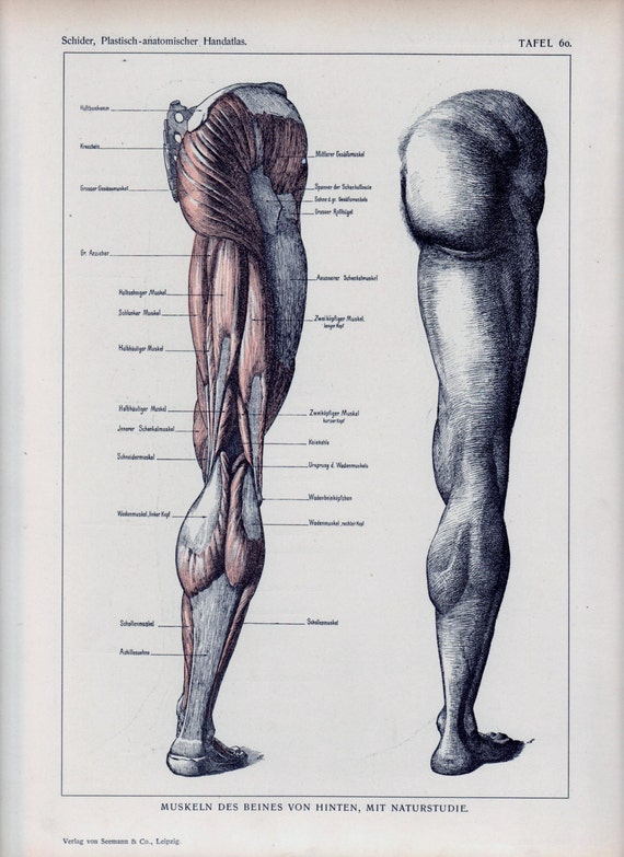 authentic 1898 anatomy book page leg exposed muscles anatomical, Muscles