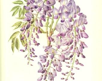 Glycine 1972 Illustration de glycine vintage image de wisteria sinensis illustration botanique fleurs mauves fleurs violettes déco florale
