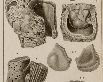 1816 Antique print of ORTHOCERAS MOLLUSCS, different types. Fossils. Nautiloid Cephalopod. Sea Life. Shells. 198 years old engraving.