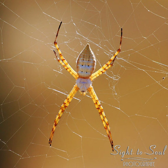 Spider Art, nature photography, golden spider on web photo, rustic wall art, fine art print, Web Master