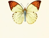 BUTTERFLY ART PRINT The Great Orange Tip Butterfly Vintage Print Collectible Beautiful Home Decor 1960's Vintage Antique Print (bb38)