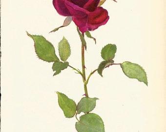 VINTAGE ROSE PRINT Red Rose 1965 Botanical Print - Perfect Gift for Anniversary, Wedding, Birthday, Graduation, Christmas (Rose 29)