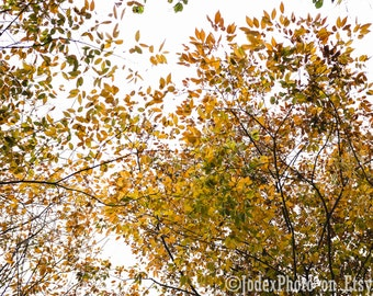 Fine Art Nature Photography 'Autumn Trees' Photograph Print 7x5, 8x10 or 20x16 Wall Art Home Decor