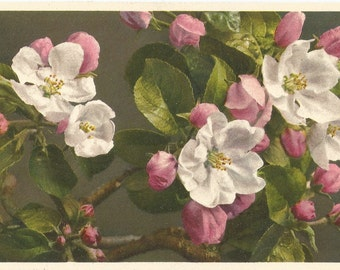 Apple Tree Blossoms No. 734  - Thor E. Gyger, Adelboden, c.1940, Switzerland - Unused Postcard