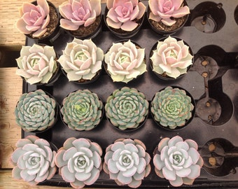 Special listing, wedding succulents sampler