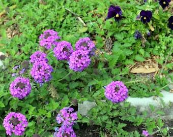 Nature Art Photography; Flower Photography; Floral Art Print; Nature Photos; Floral Wall Art; Floral Photos; Purple Flowers; Purple Blooms