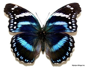 Insect Butterfly Moth Nymphalidae Hypolimnas antevorta-Black and Blue Gem!!