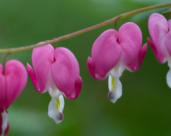 Bleeding Heart flower photographic print