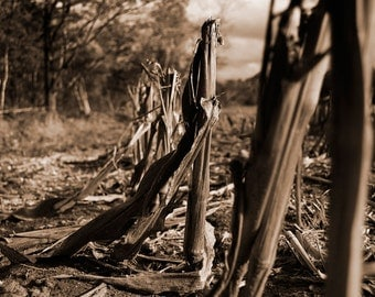 Stalks In Fall - Nature Photography