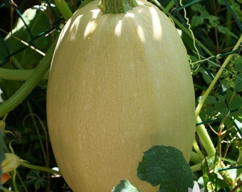Vegetable Spaghetti Winter Squash Heirloom Seeds - Non-GMO, Open Pollinated, Untreated