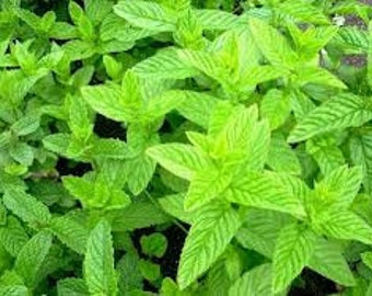 Mint Seed Collection, 10 Different Varieties of Mint Seeds, Mentha, Perennial Plants, Get Your Herb Garden Going, 2 Sizes to choose from