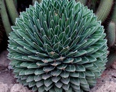 Agave Victoria Reginae - 10 Seeds - Spikey Succulent Leaves