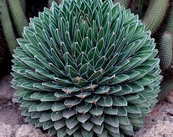 Agave Victoria Reginae - 10 Seeds - Spikey Succulent Leaves