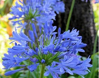 Agapanthus Praecox ' Peter Pan ' - 30 Seeds - Dwarf Lily of the Nile