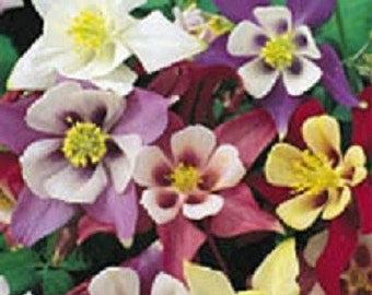 500 Seeds Columbine Mckanas Giant