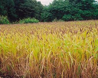 Japanese Millet Seed