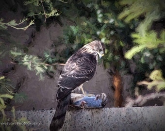 Cooper's Hawk Painting Photo