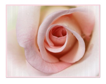 Pale Pink Tea Rose Photograph